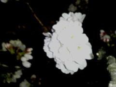 090326 CherryBrossomOpening ~1.jpg