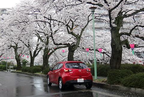 150406 CherryFullBlossom.jpg