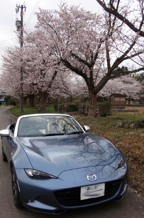 190408 Sakura ~1.jpg